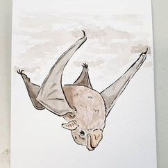 Seychelles Sheith-tailed Bat
