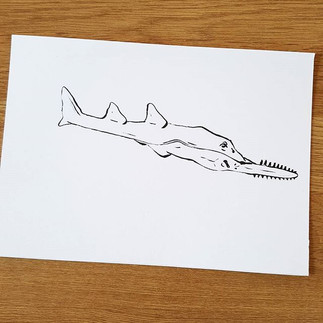 Day 20 Largetooth Sawfish