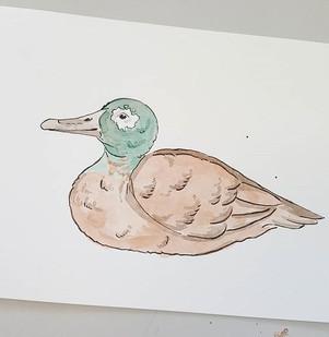 Day 12 Laysan Duck