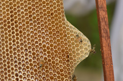 Favo de mel - Bee Mel Piaui