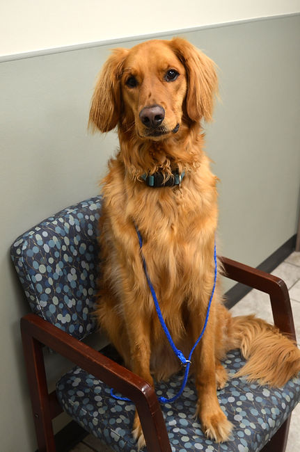 Golden Retriever sitting on chair