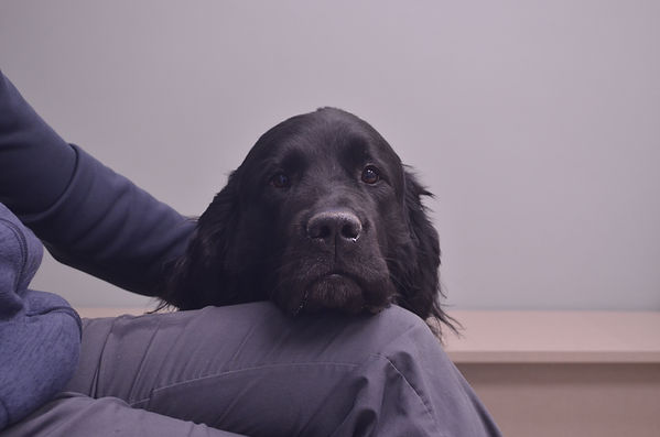 Newfoundland resting head on knee