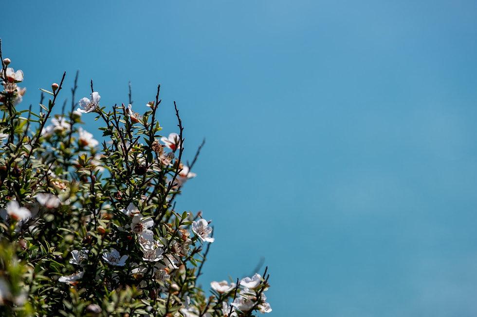 manuka-plant.jpg