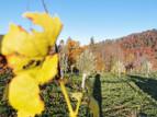 Jungfernernte: Erstes Olivenöl aus Leutschach