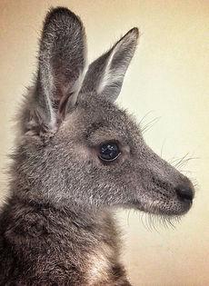 Penney the Kangaroo.jpg