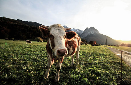 agriculture-animals-cattle-448749.jpg