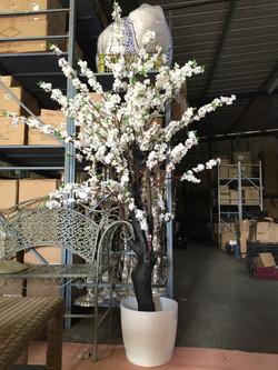 עץ שקדיה גובה 220 סמ