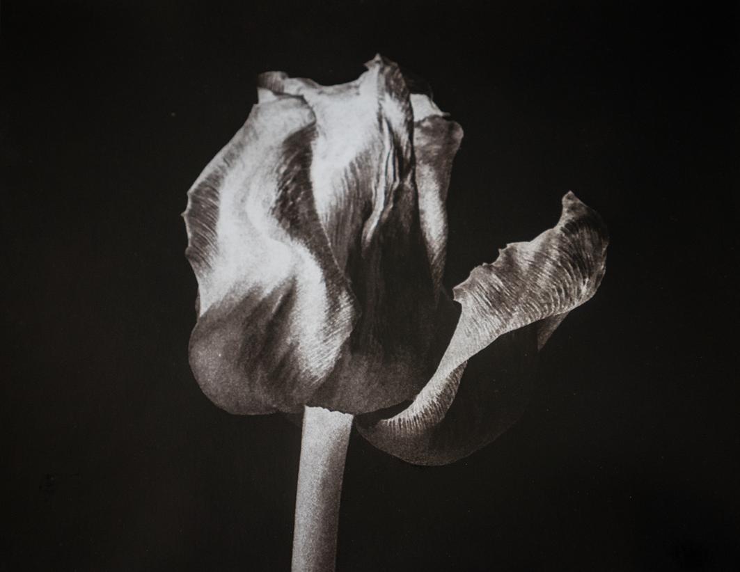 6cathycakebread_tulip_on_black.tif