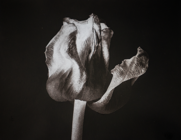6cathycakebread_tulip_on_black.tif