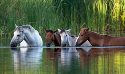 Wild horses at the Verde River