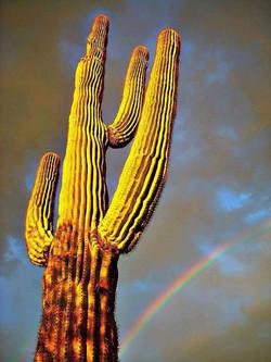 Rainbow and saguaro