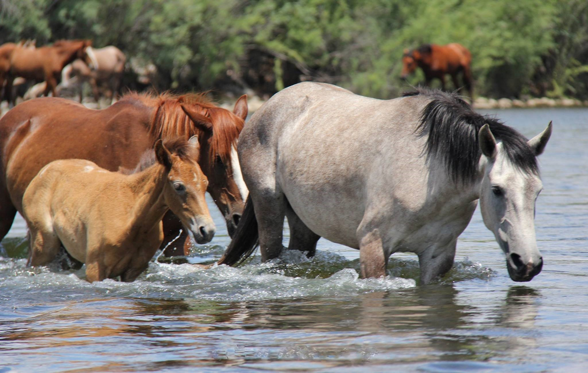 Wild horses at Verde river