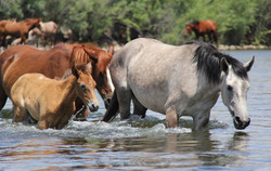 Wild horses at Verde river