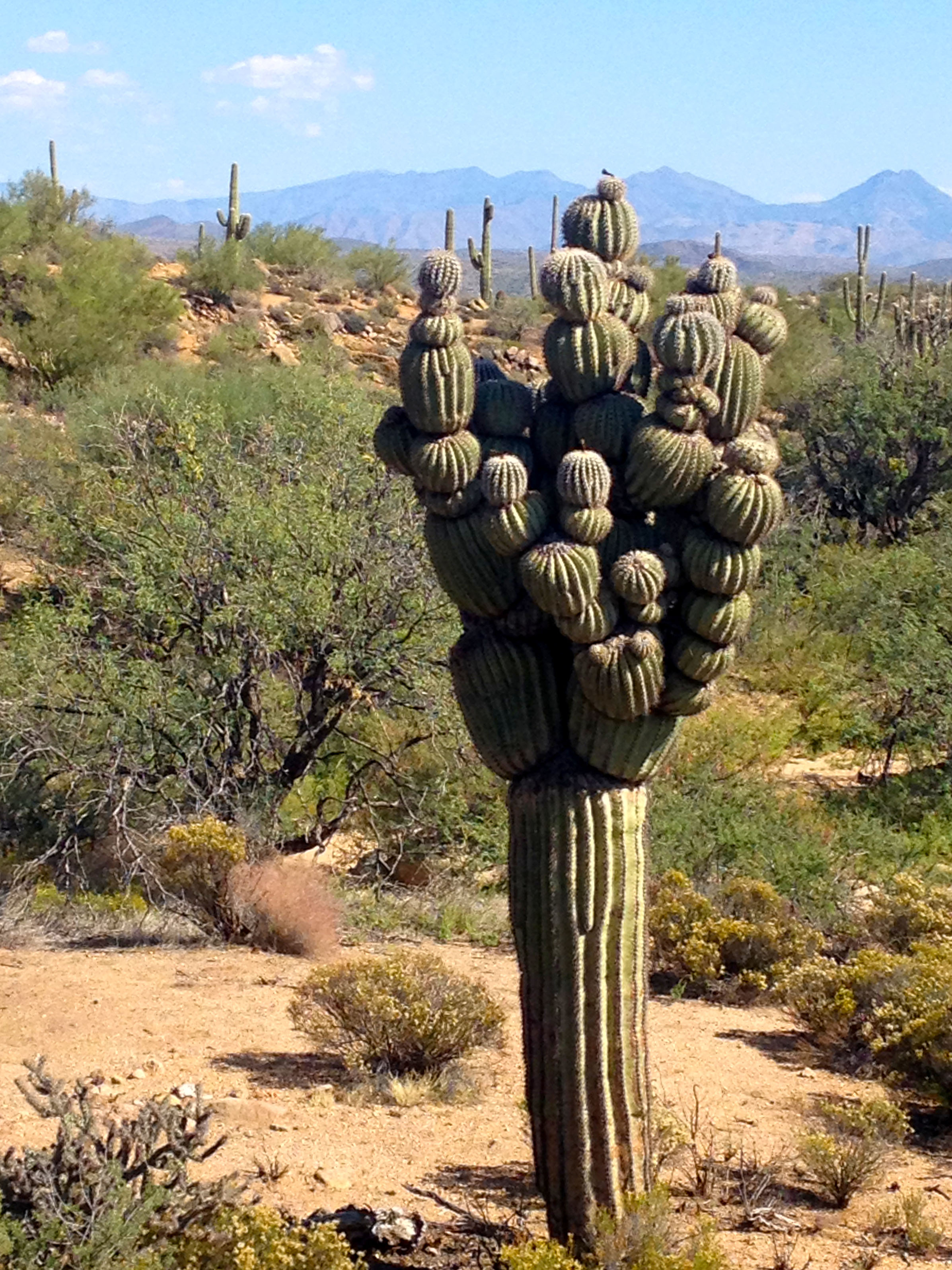 Michelin Man saguaro cactus
