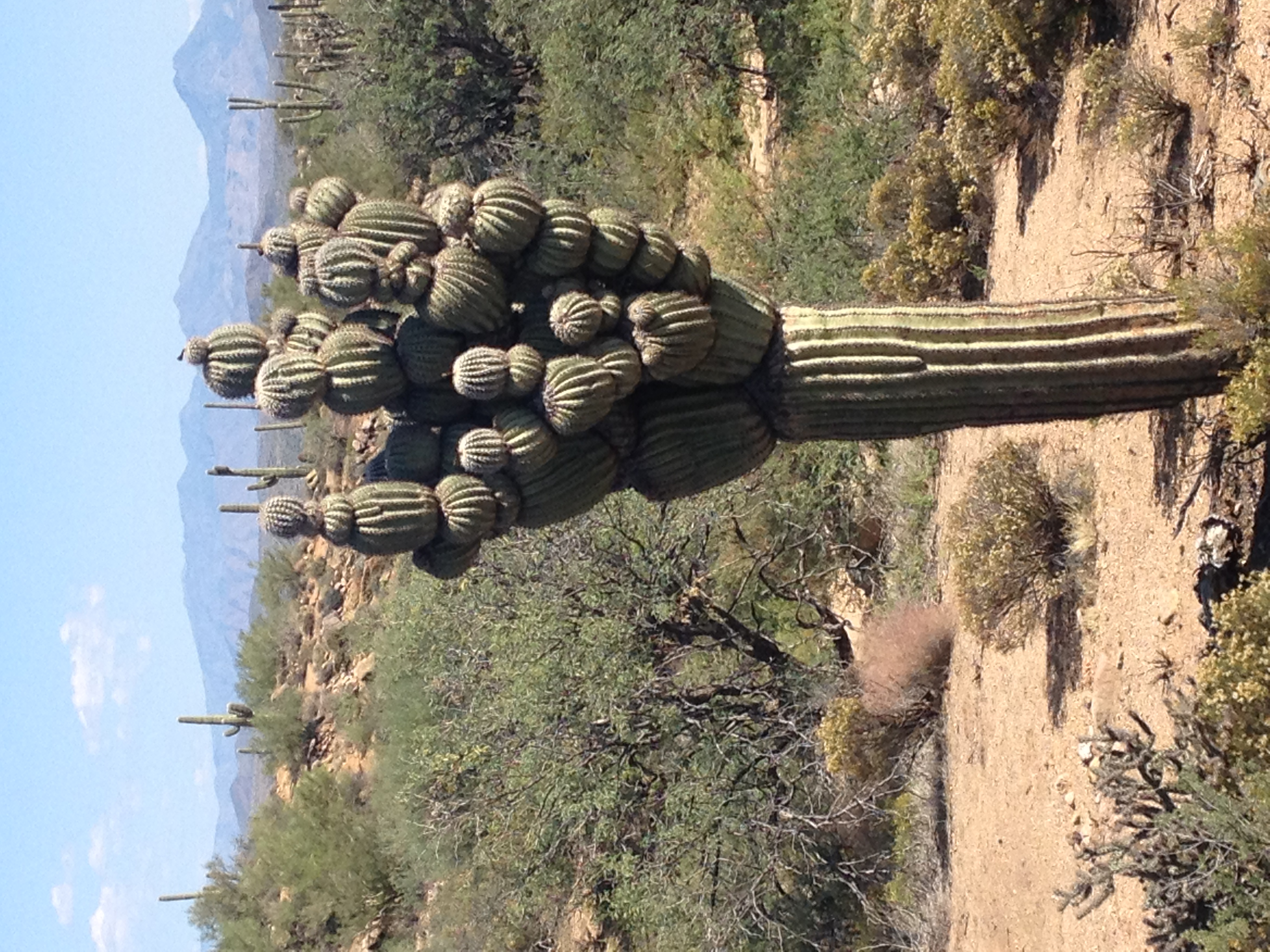 Michelin Man Saguaro