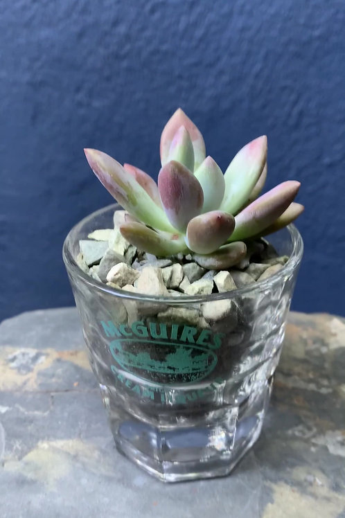 Graptoveria Opalina in Shot Glass