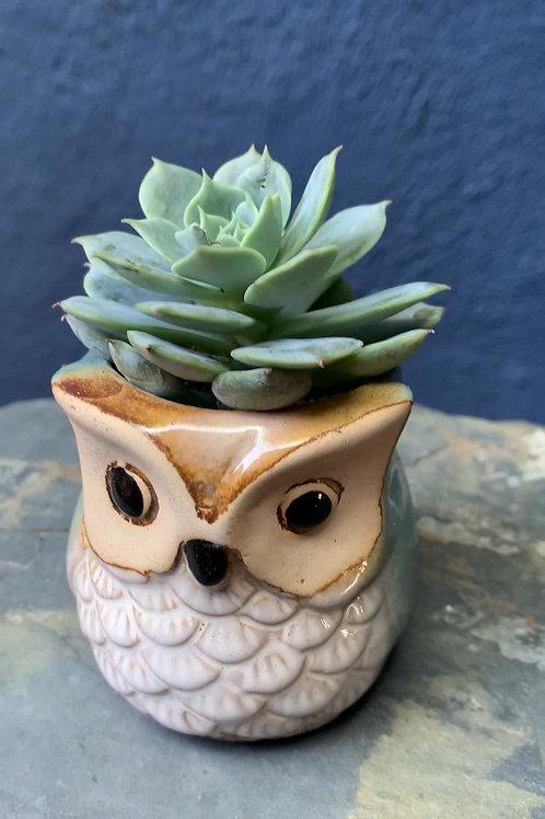 Echeveria in Ceramic owl