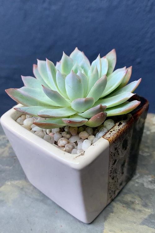 Echeveria in Unique Ceramic Cup