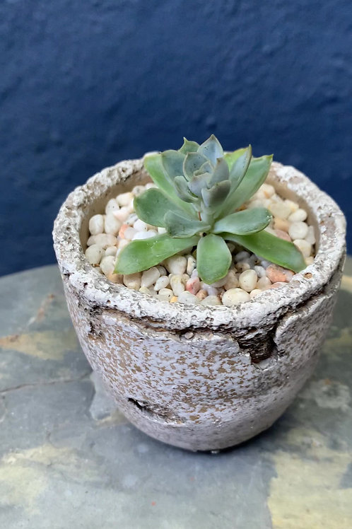 Potted Echeveria