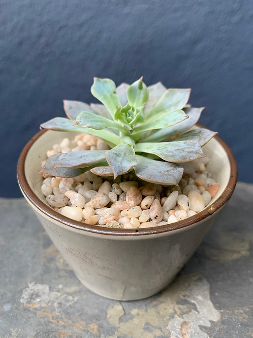 Potted Echeveria In Ceramic Pot