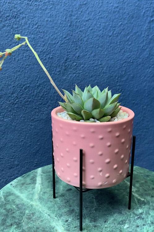 Echeveria in Pink Dot Raised Ceramic Container