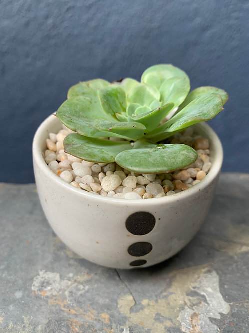 Echeveria In Ceramic Pot