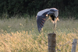 Learn how to get up close to a Heron