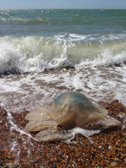 Octypus Barrel Jellyfish