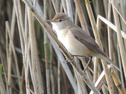 Snap a Reedwarbler without long lens