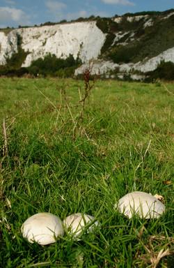 Horse Mushrooms