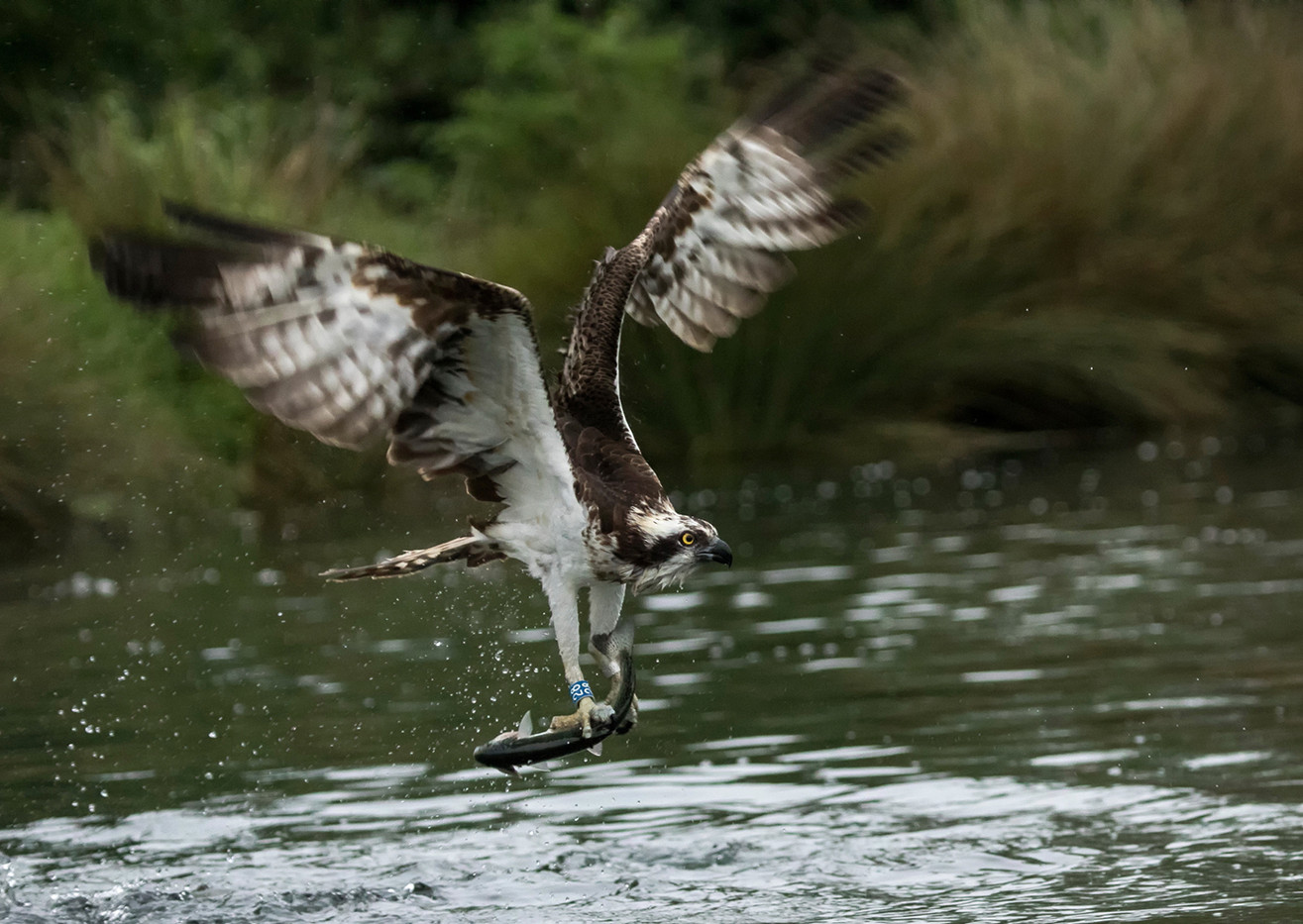 15 OSPREY WITH CATCH by Glenn Welch