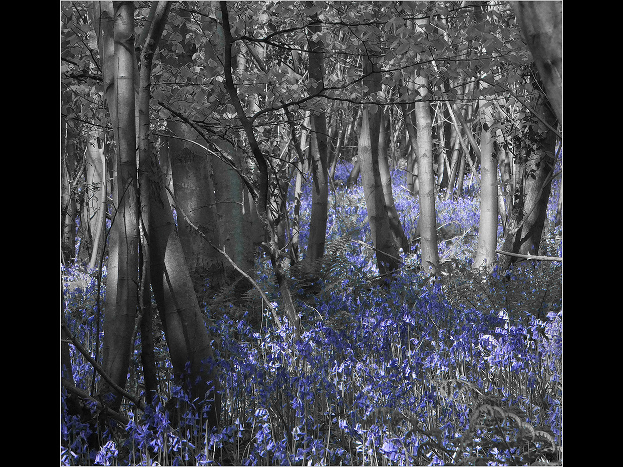 GROUP 1 15 BLUEBELL WOODS by Cathie Agates