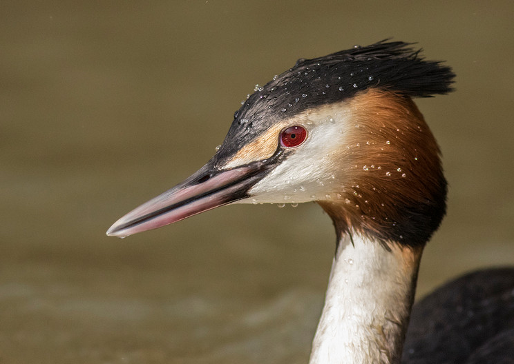 19 GREAT CRESTED GREBE by Glenn Welch