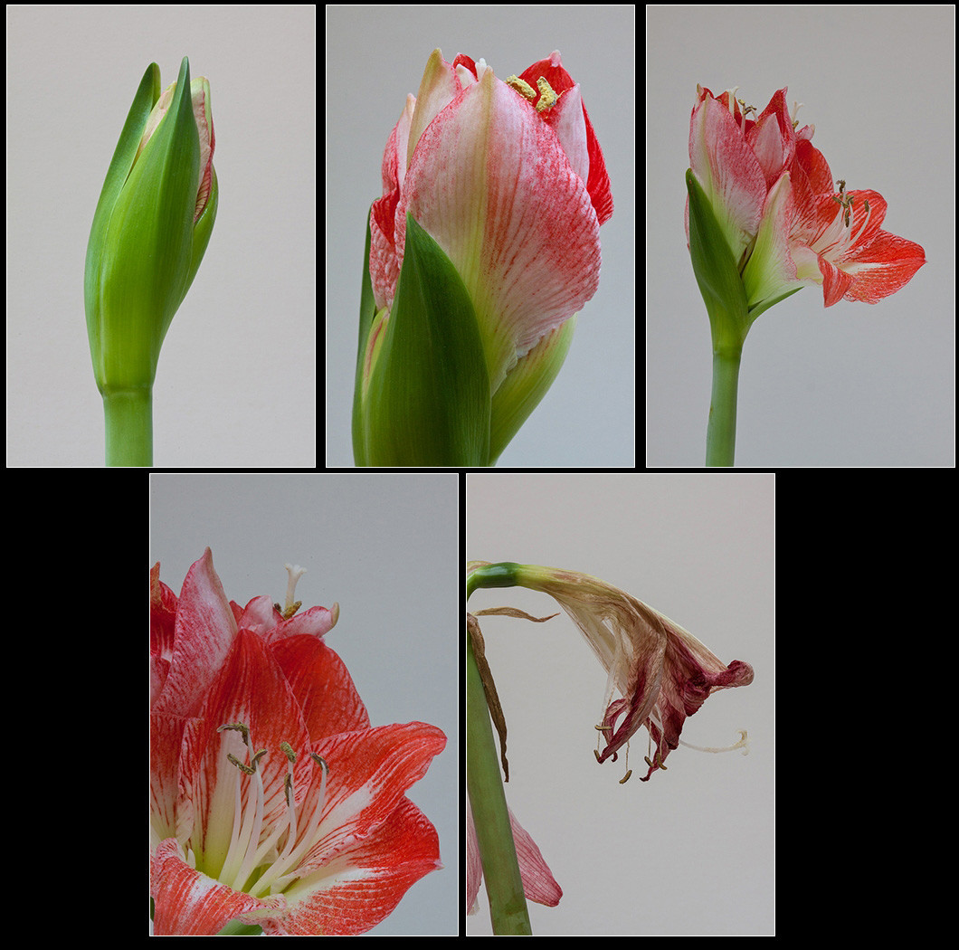 18 LIFE CYCLE OF AN AMARYLLIS by Colin Burgess