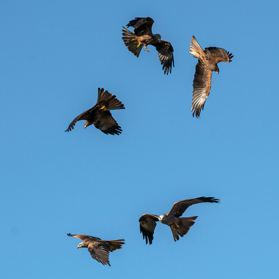 17 (PRINT) BLACK KITES by Steve Oakes