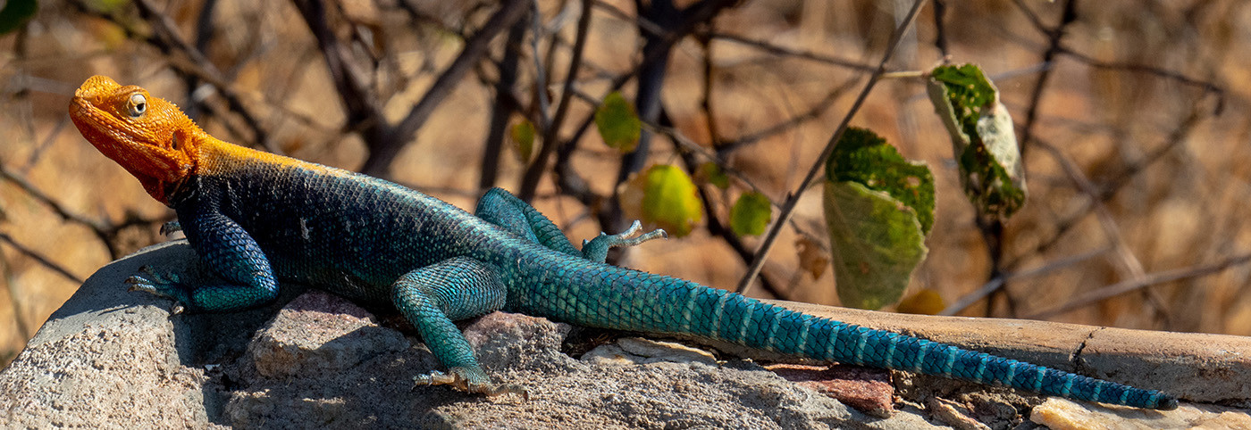 15 (PRINT) RED-HEADED ROCK LIZARD by David Parkinson