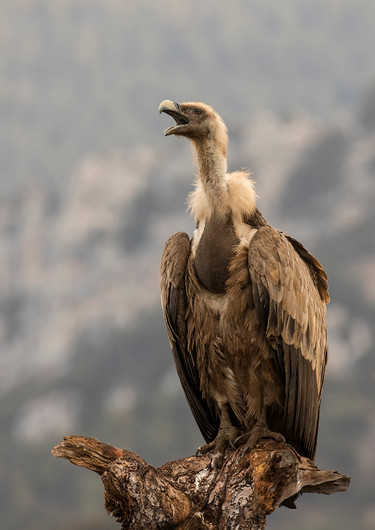 18 CALL OF THE WILD (GRIFFON VULTURE) by Glenn Welch