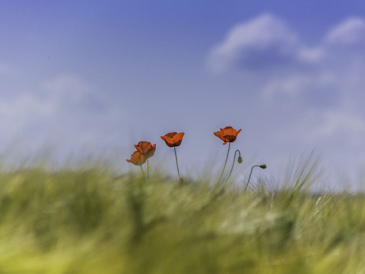 Group 2 18 LONELY POPPIES by Colin Smith