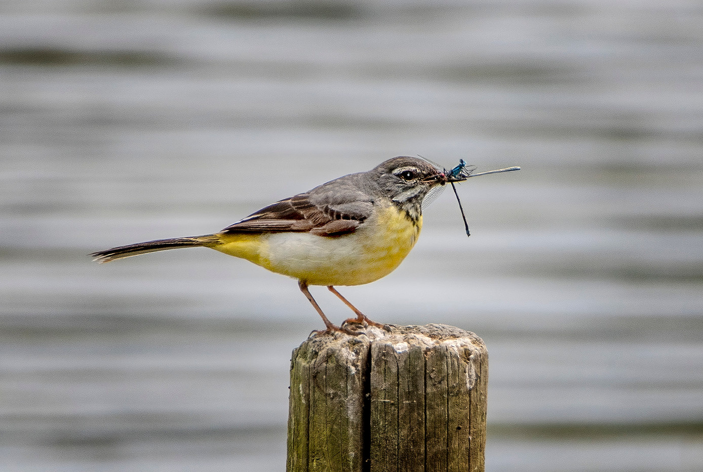 19 (PRINT) GREY WAGTAIL WITH DAMSELFLIES by John Butler