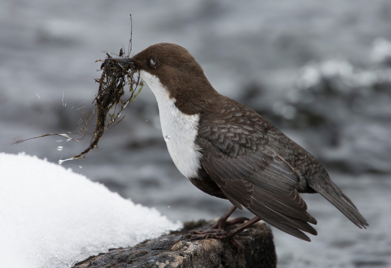 16 DIPPER COLLECTING MATERIAL IN WINTER by John Hunt