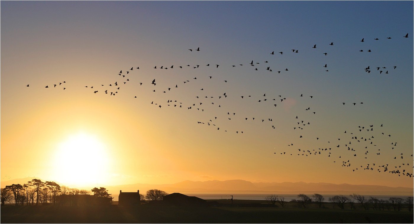17 EVENING FLIGHT OF PINKFOOTED GEESE OVER THE SOLWAY FIRTH by Dave Brooker
