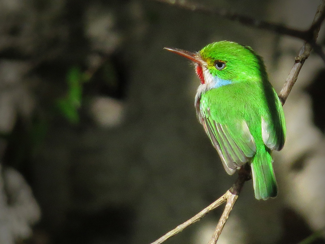 18 CUBAN TODY by Cathie Agates