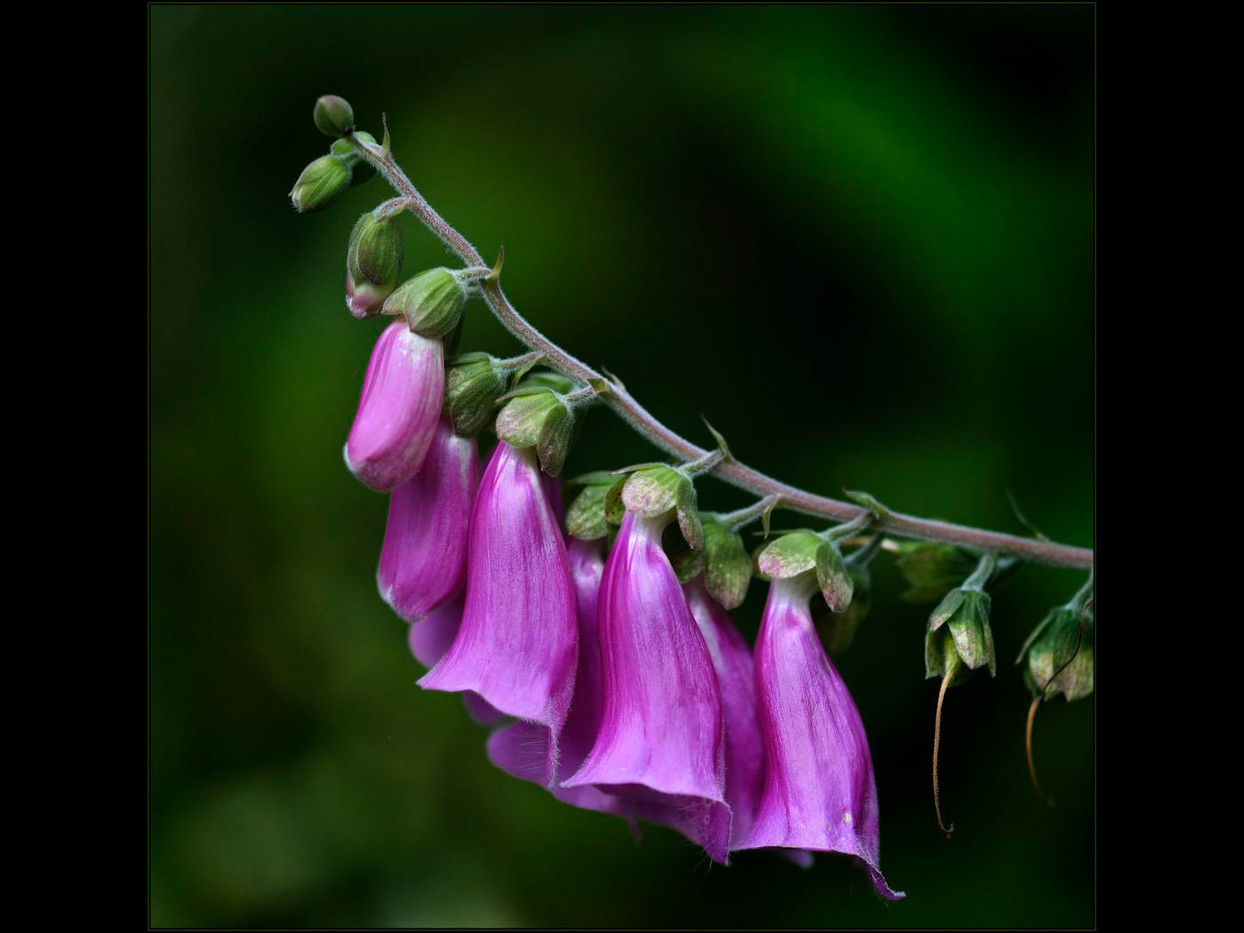 GROUP 1 18 FOXGLOVE by Mick Dudley