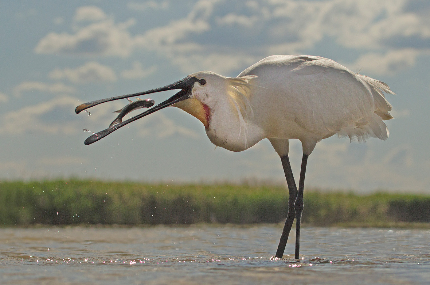 GROUP 1 20 SPOONBILL CATCH by John Hunt