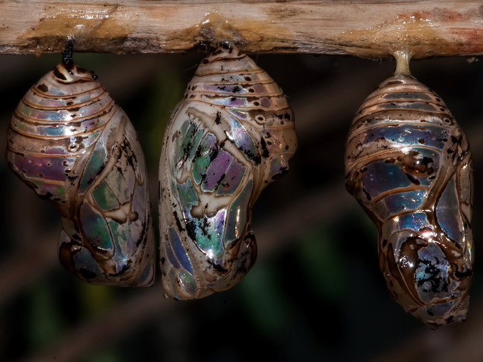 GROUP 1 16 CHRYSALIDES HANGING OUT by Alan Cork