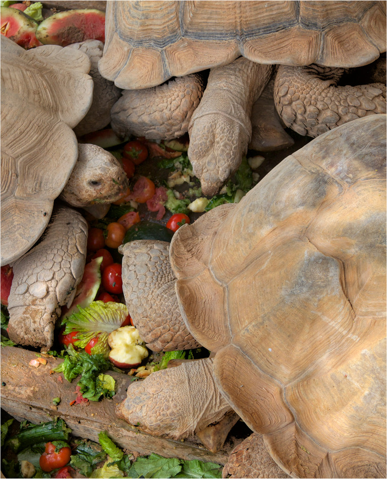 17 TORTOISE FEEDING by Dave Brooker