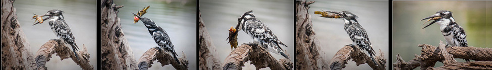19 PIED KINGFISHER by Cathie Agates