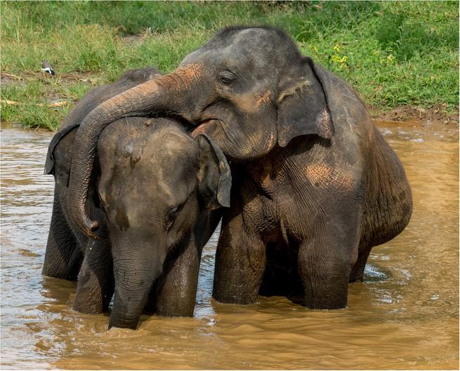 19 AFFECTIONATE ELEPHANTS by David Parkinson