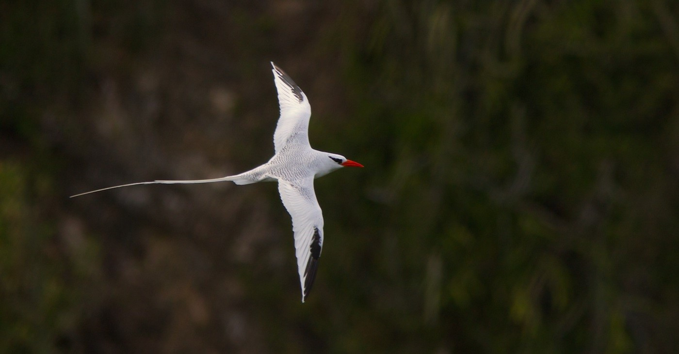 17 RED BILLED TROPICBIRD by Simon Lane
