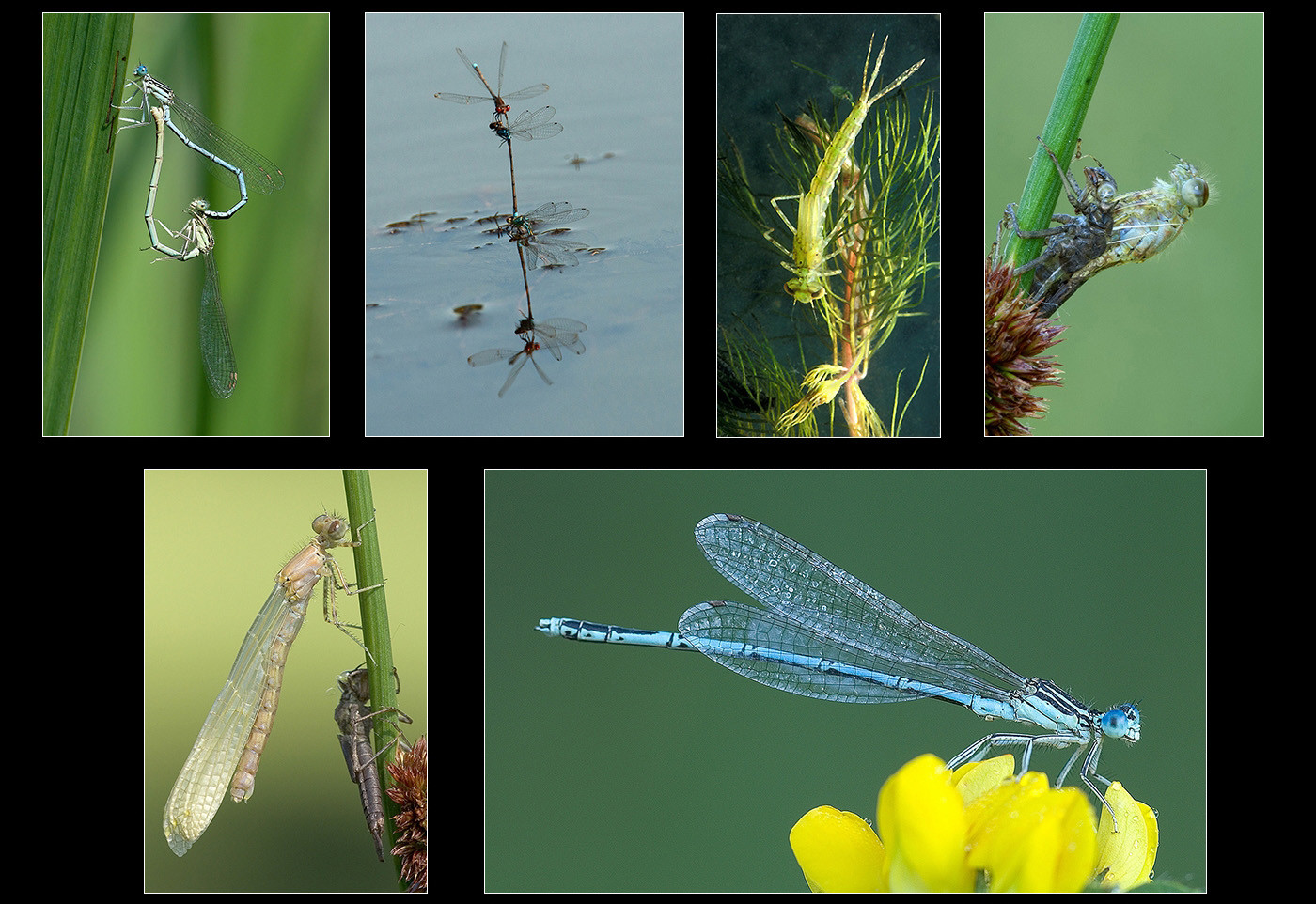 20 LIFE CYCLE OF THE WHITE LEGGED DAMSELFLY by Alan Cork